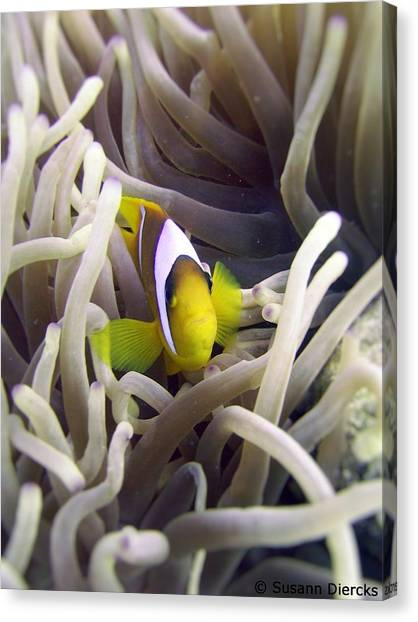 Biology Canvas Print - Clownfish by Susann Diercks
