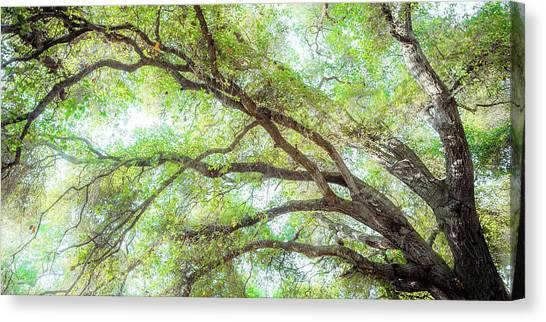 Coast Live Oak Branches Canvas Print