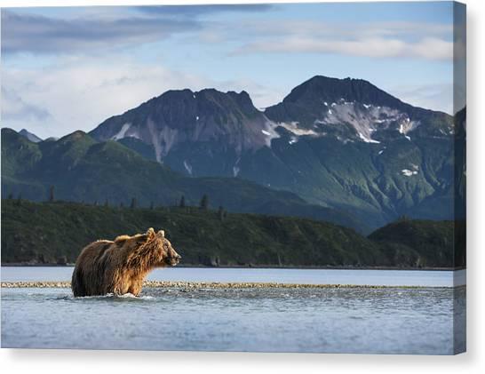 Bears Canvas Print - Coastal Brown Bear  Ursus Arctos by Paul Souders