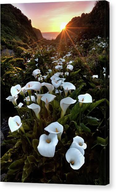 Coastal Calla Lilies Canvas Print