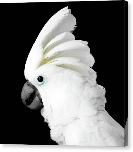 Perching Birds Canvas Print - Cockatoo Alba by Sergey Taran