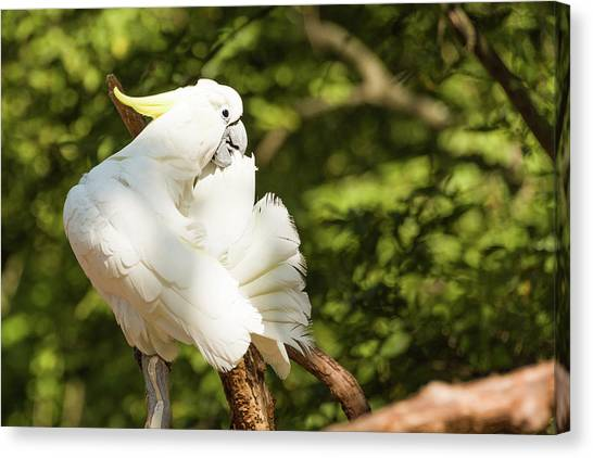 Cockatoo Preaning Canvas Print
