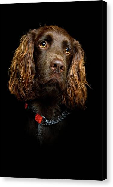 Cocker Spaniels Canvas Print - Cocker Spaniel Puppy by Andrew Davies