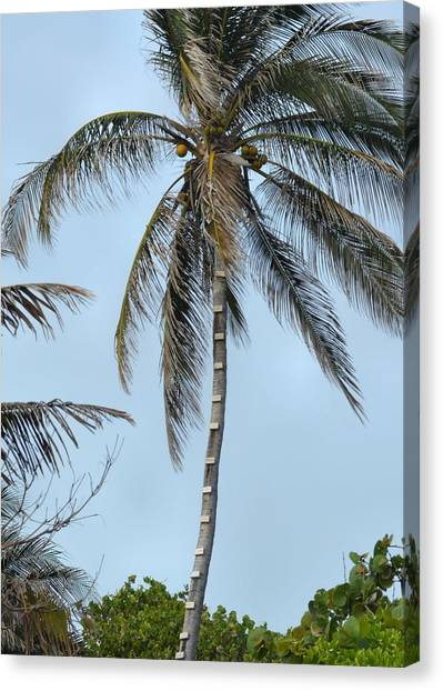 Coconut Collecting Canvas Print by JAMART Photography