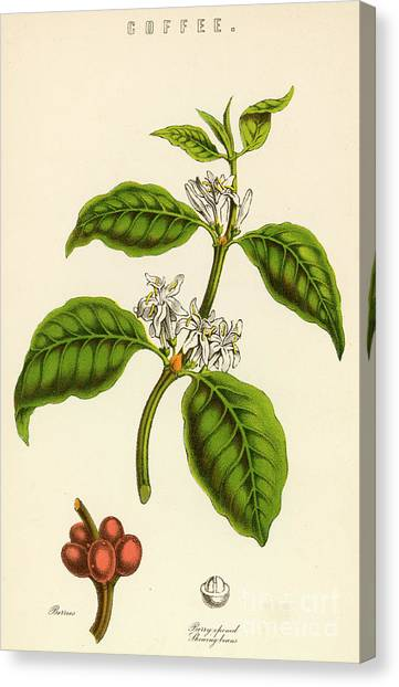 Coffee Plant Canvas Print - Coffee by English School