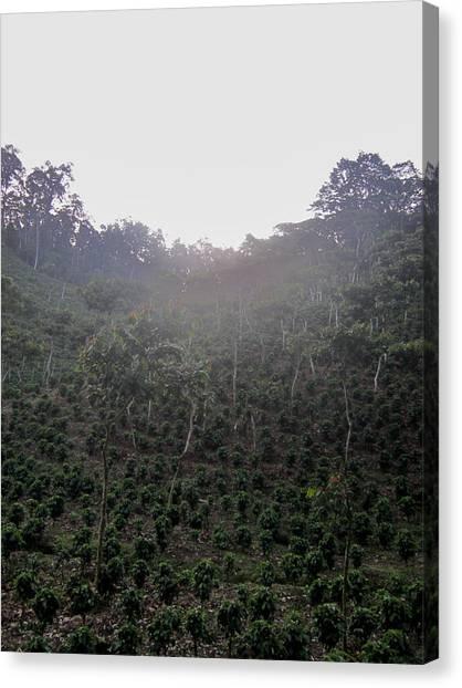 Coffee Plant Canvas Print - Coffee Farm Mountainside by Ernesto