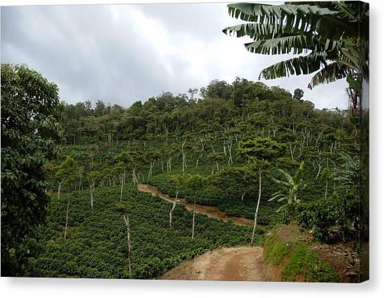 Coffee Plant Canvas Print - Coffee Farm Mountainside Road by Rosa Diaz