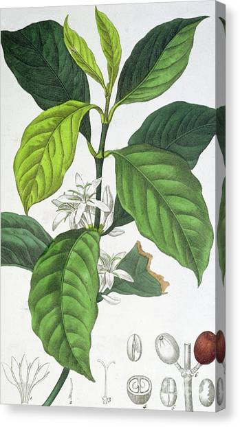Coffee Plant Canvas Print - Coffee by Maria Gabriel Cogniet