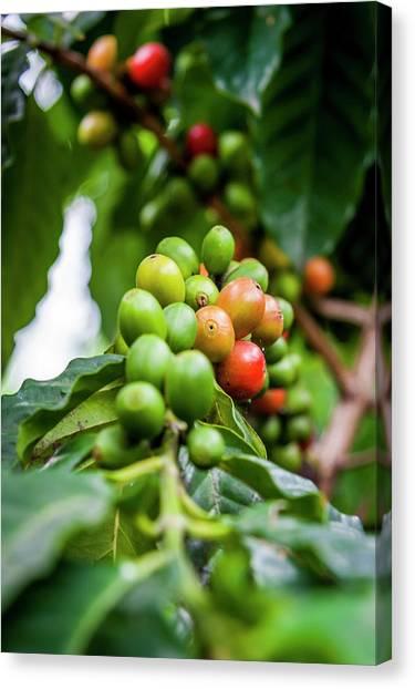 Coffee Plant Canvas Print