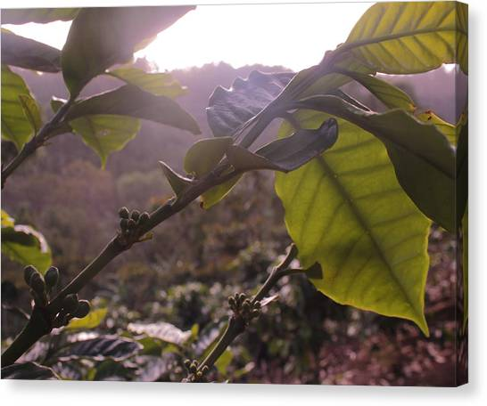 Coffee Plant Canvas Print - Coffee Plant by Magdiel