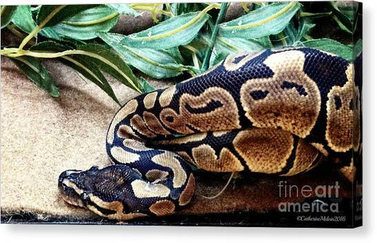 Ball Pythons Canvas Print - Coiled by Catherine Melvin