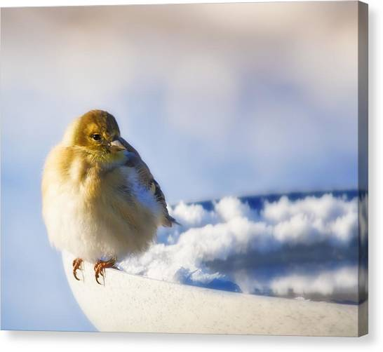 Cold American Goldfinch Canvas Print