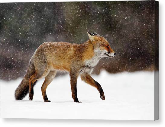 Winter Canvas Print - Cold As Ice - Red Fox In A Snow Blizzard by Roeselien Raimond