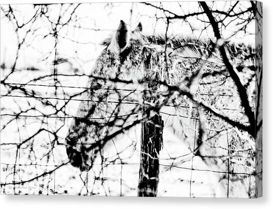 Cold Horse Canvas Print