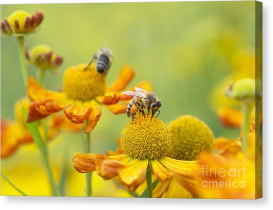 Pollinator Canvas Print - Collecting Nectar by Tim Gainey