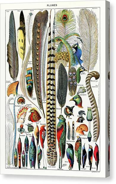 1900 Canvas Print - Collection Of Different Plume Types by Adolphe Millot