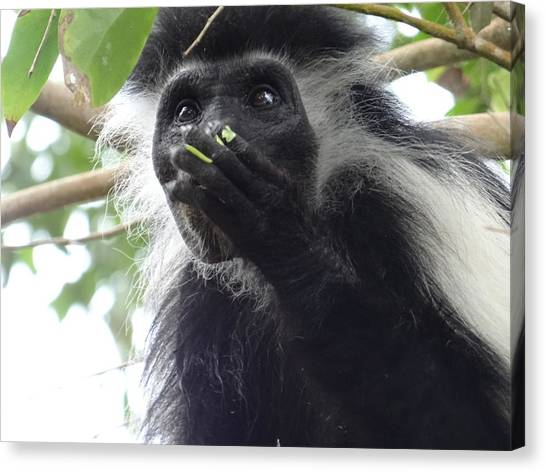 Exploramum Canvas Print - Colobus Monkey Eating Leaves In A Tree 2 by Exploramum Exploramum