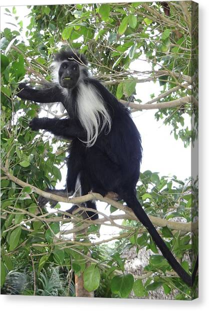 Education By Traveling Canvas Print - Colobus Monkey Eating Leaves In A Tree by Exploramum Exploramum