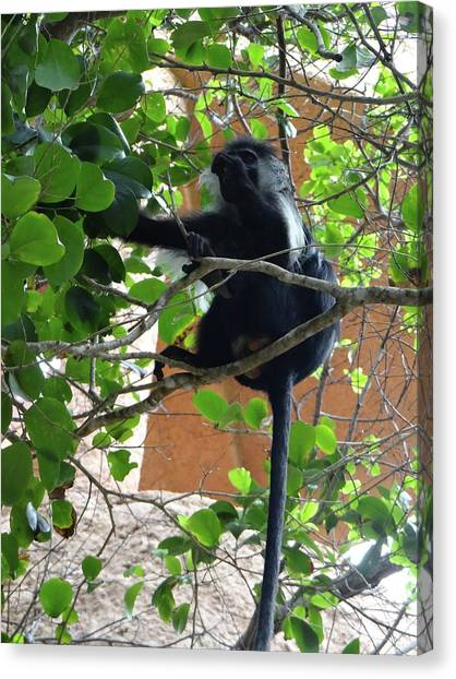 Education By Traveling Canvas Print - Colobus Monkey Eating Leaves In A Tree - Full Body by Exploramum Exploramum