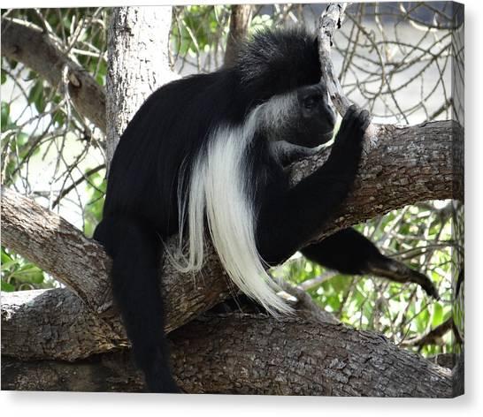 Exploramum Canvas Print - Colobus Monkey Resting In A Tree by Exploramum Exploramum