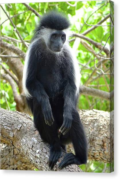 Education By Traveling Canvas Print - Colobus Monkey Sitting In A Tree 2 by Exploramum Exploramum