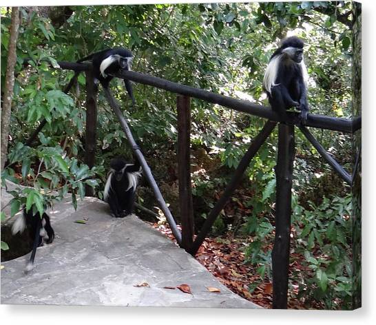 Education By Traveling Canvas Print - Colobus Monkeys At Sands Chale Island by Exploramum Exploramum