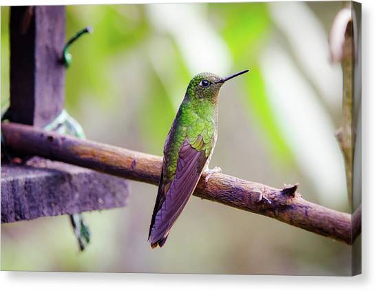 Colombian Canvas Print - Colombian Hummingbird by Michael Weber