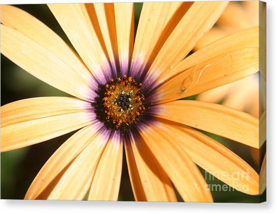 Color Burst Canvas Print by Amy Holmes