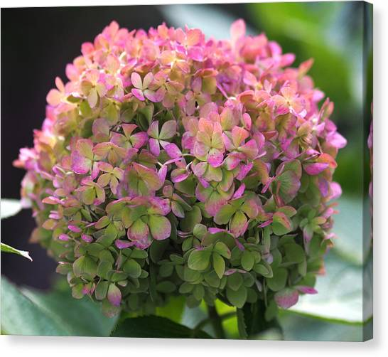 Canvas Print - Color-changing Little Lime Hydrangea by Rona Black