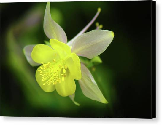 Colorado Columbine Canvas Print