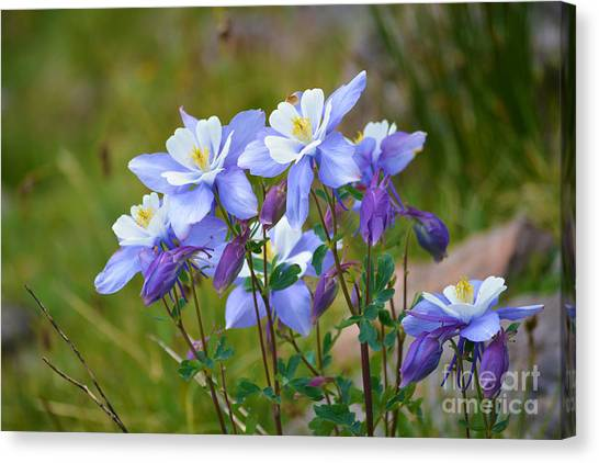 Canvas Print featuring the photograph Colorado Columbines by Kate Avery