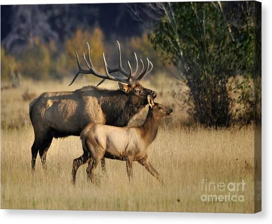 Colorado Elk  Canvas Print