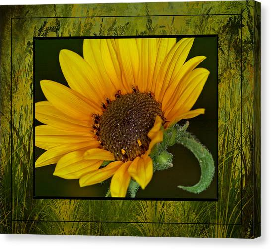 Colorado Sunflower Canvas Print