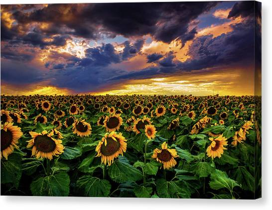 Colorado Sunflowers At Sunset Canvas Print