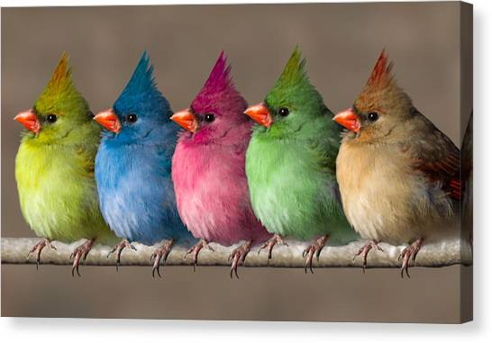 Colored Chicks Canvas Print