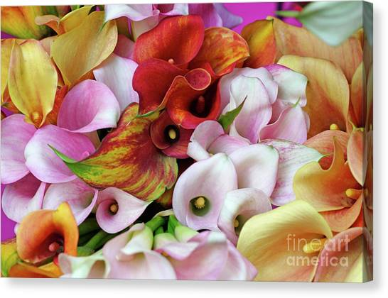 Colorful Calla Lilies Canvas Print