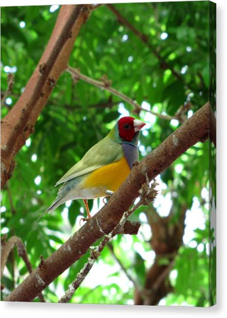 Colorful Finch Canvas Print by George Jones