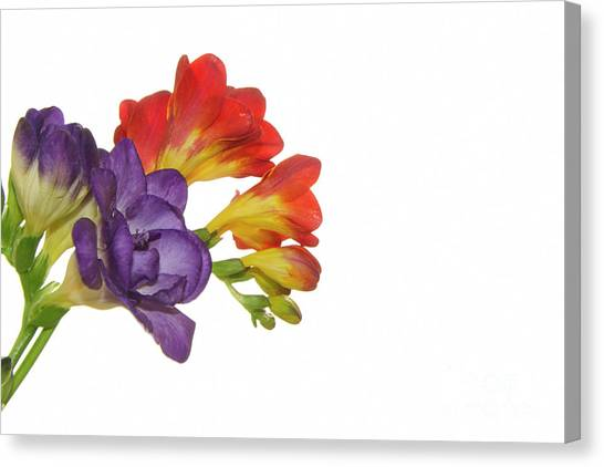 Colorful Freesias Canvas Print