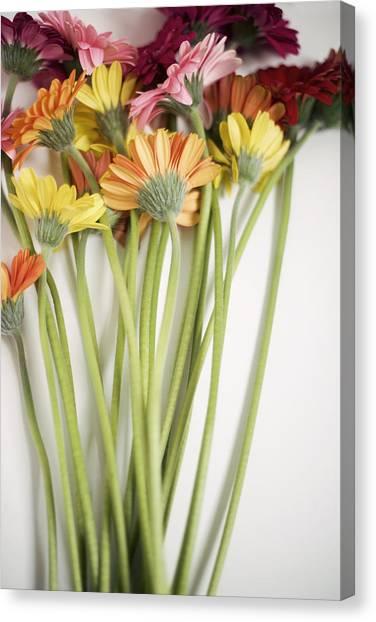 Colorful Long Stemmed Gerbera Daisies Canvas Print