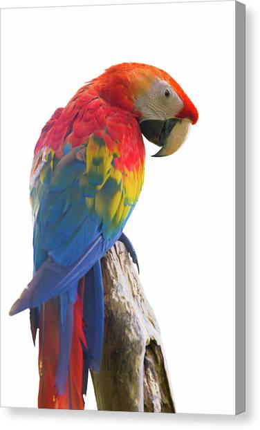 Colorful Parrot Isolated In White Background Canvas Print by Anek Suwannaphoom
