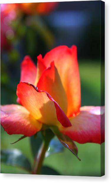 Colorful Rose Canvas Print by Donald Tusa