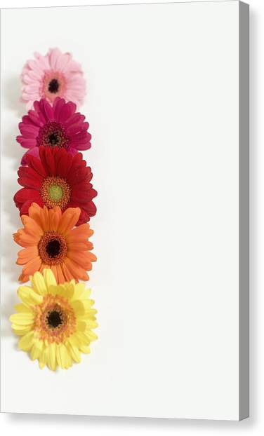 Colorful Row Of Gerbera Daisies Canvas Print