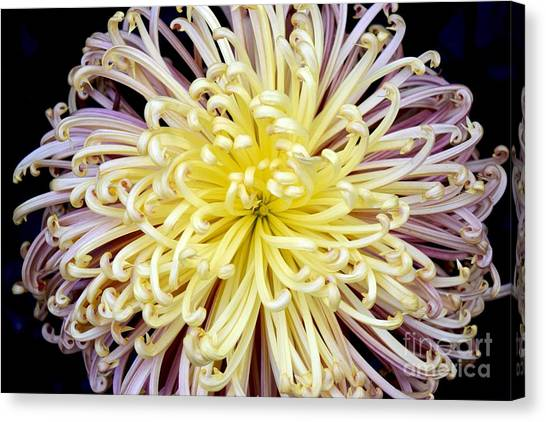 Colorful Spider Chrysanthemum   Canvas Print