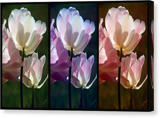 Coloured Tulips Canvas Print