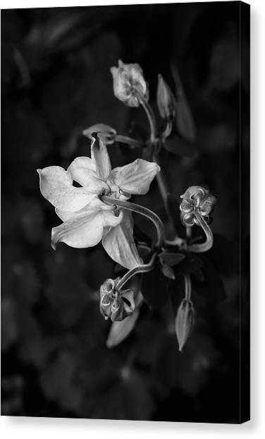 Columbine Canvas Print by Rodger Werner
