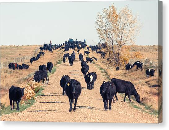 Angus Steer Canvas Print - Coming Down The Road by Todd Klassy