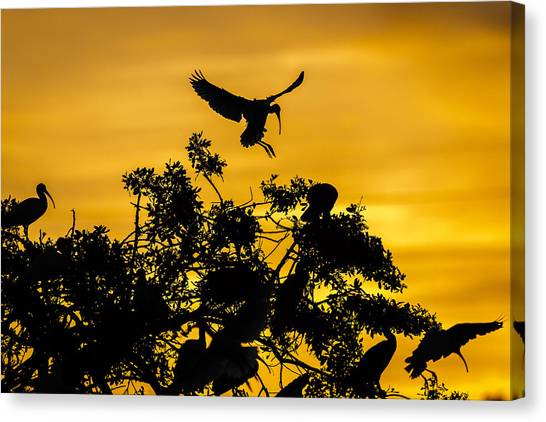 Ibis Canvas Print - Coming Home by Mike Lang
