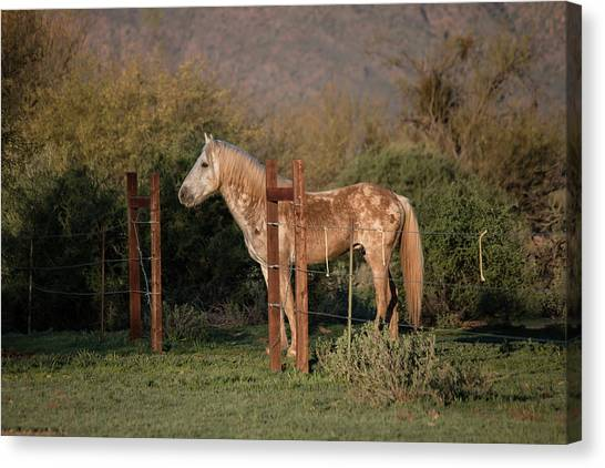 Coming Through The Fence Canvas Print