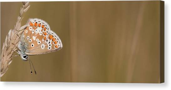 Common Blue Roosting Canvas Print