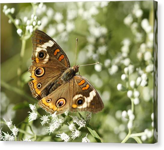 Common Buckeye Butterfly On White Thoroughwort Wildflowers Canvas Print